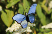 butterfly blue - historical glass